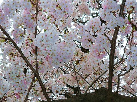 横浜の桜は満開です!